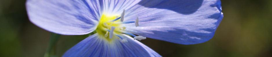 Anklicken um das ganze Bild zu sehen  Ausdauernder Lein Stauden-Lein Blüte hellblau Linum perenne