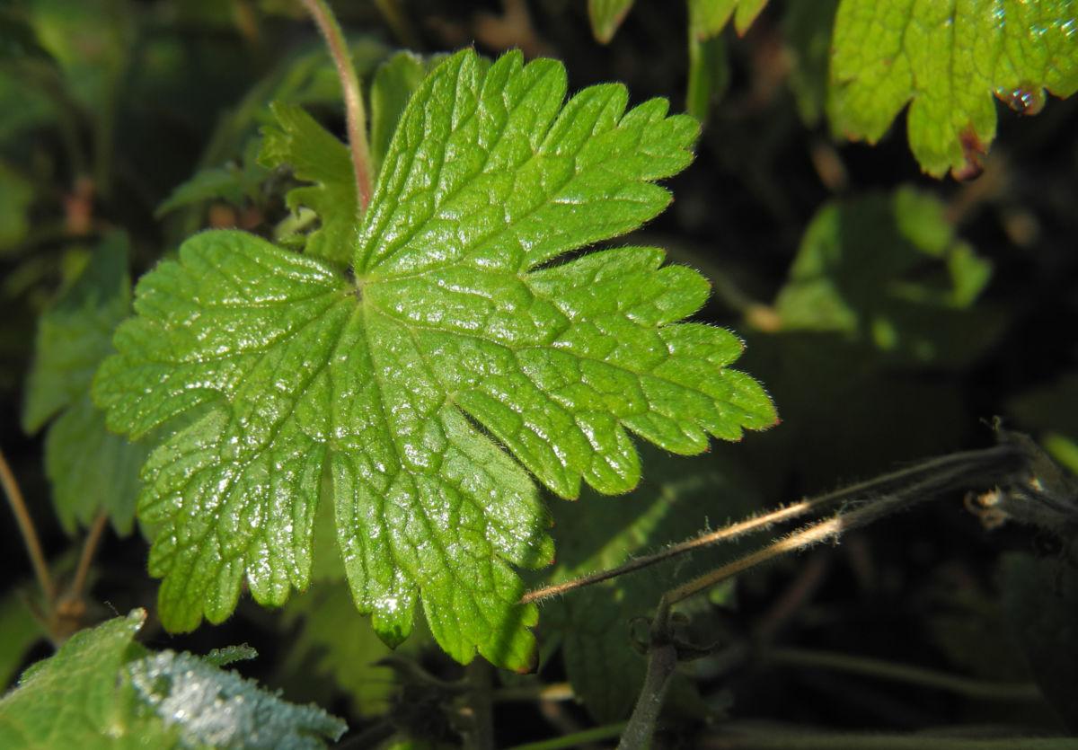 Auslaeufer Storchschnabel Blatt gruen Geranium procurrens