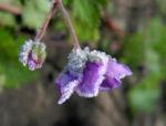 Auslaeufer Storchschnabel Bluete lila Geranium procurrens 03