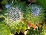 Auslaeuferbildender Mannsschild Blatt gruen Androsace sarmentosa 02 2