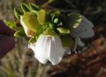 Australischer Minzstrauch Bluete weiss Prostanthera striatiflora 08