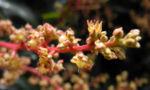 Avocado Baum Bluete gelblich Persea americana 04