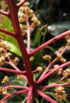 Avocado Baum Rispe rot Persea americana 01