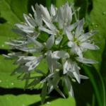 Bär Lauch Kraut Bluete weiss Allium ursinum 01