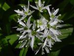 Bär Lauch Kraut Bluete weiss Allium ursinum 05