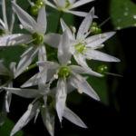 Bär Lauch Kraut Bluete weiss Allium ursinum 06