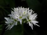 Bär Lauch Kraut Bluete weiss Allium ursinum 09