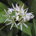 Baeren Lauch Baerlauch Bluete weiss Allium ursinum 01