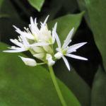 Baeren Lauch Baerlauch Bluete weiss Allium ursinum 02