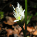 Baeren Lauch Baerlauch Bluete weiss Allium ursinum 04