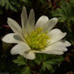 Balkan Anemone Anemone blanda 02 1