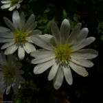 Balkan Anemone Anemone blanda 05