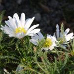 Balkan Buschwindroeschen Bluete weiss Anemone blanda 05