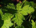 Balkan Storchschnabel Blatt gruen Geranium macrorrhizum 07