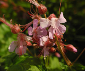 Balkan Storchschnabel Bluete rose Geranium macrorrhizum 10