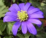 Balkan Windroeschen Bluete blau Anemone blanda 02