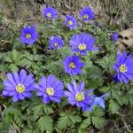 Balkan Windroeschen blau Anemone blanda 04