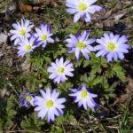 Balkan Windroeschen hellblau Anemone blanda 07