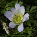 Balkan Windroeschen Anemone blanda 03