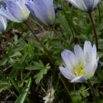 Balkan Windroeschen Anemone blanda 05
