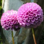 Bild:  Ball Dahlie Blüte pink Dahlia