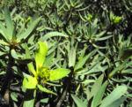 Balsam Wolfsmilch Bluete gelb gruen Euphorbia balsamifera 05