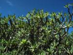 Balsam Wolfsmilch Bluete gelb gruen Euphorbia balsamifera 07Balsam Wolfsmilch Blatt gruen Euphorbia balsamifera 07