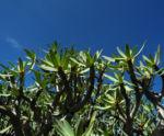 Balsam Wolfsmilch Bluete gelb gruen Euphorbia balsamifera 08Balsam Wolfsmilch Blatt gruen Euphorbia balsamifera 08
