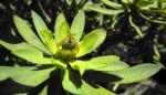 Balsam Wolfsmilch Bluete gelb gruen Euphorbia balsamifera 09