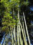 Bambus Giant Timber Bamboo Staengel Blatt gruen Bambusa oldhamii 07