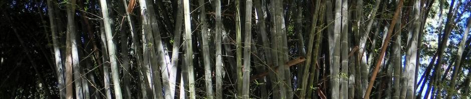giant-timber-bamboo-staengel-blatt-gruen-bambusa-oldhamii