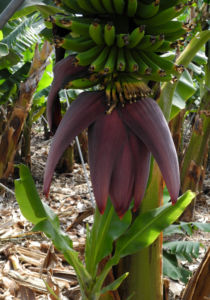 Banane Bluete rot braun Musa acuminata 03