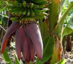Banane Bluete rot braun Musa acuminata 08