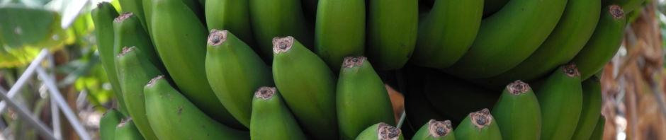 Anklicken um das ganze Bild zu sehen  Banane Blatt Stängel Frucht gruen rotbraun Musa acuminata