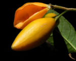Bananenbusch Frucht orange Tabernaemontana pandacaqui 04