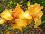 Bartiris Piroschka Bluetendolde orange gelb Iris barbata elatior 19