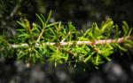 Baum Heide Blatt gruen Erica arborea 01