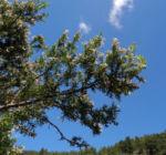 Baum Heide Bluete weiß Erica arborea 01