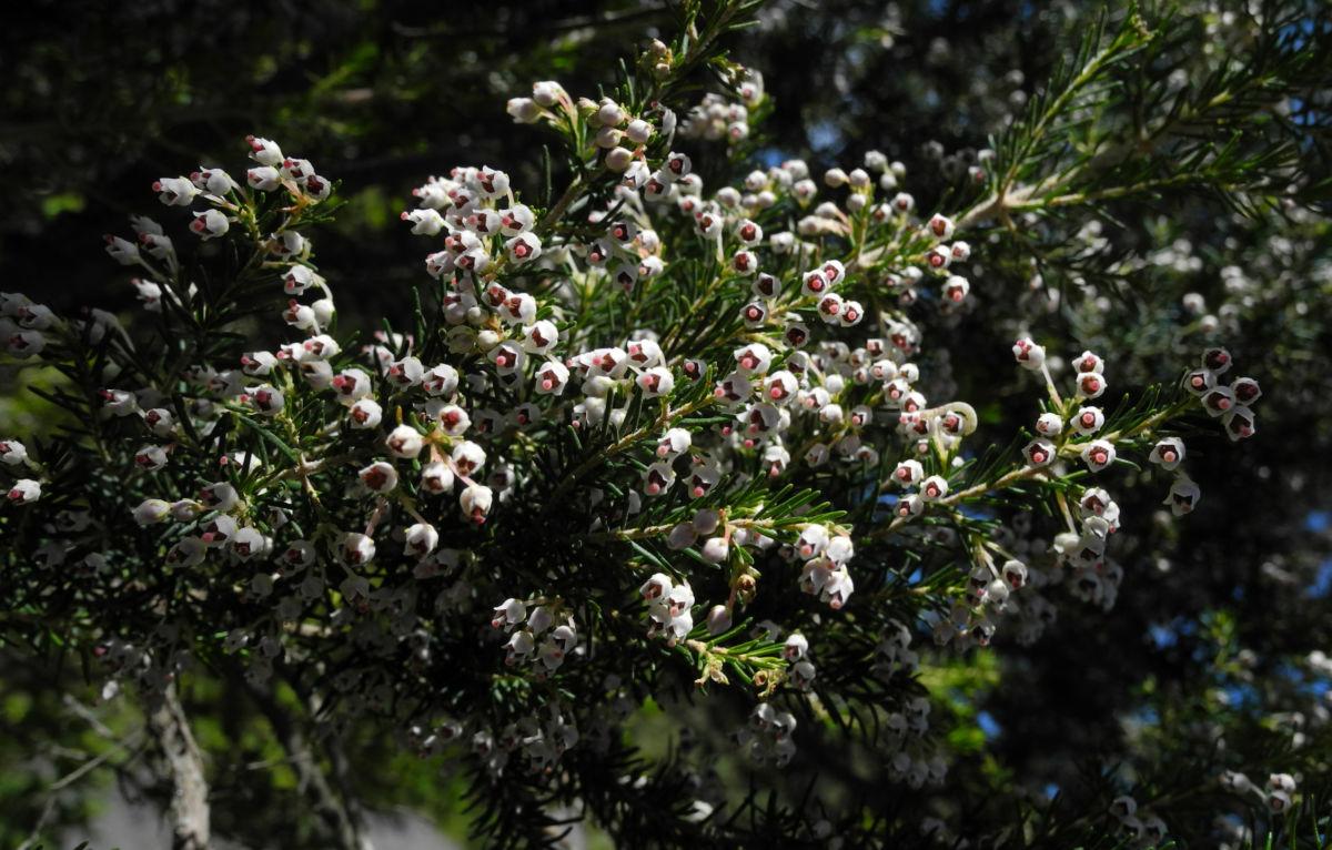 Baum Heide Bluete weiß Erica arborea