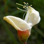 Baum Robinie Bluete weiss robinia pseudoacacia 01