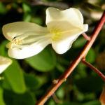 Baum Robinie Bluete weiss robinia pseudoacacia 06