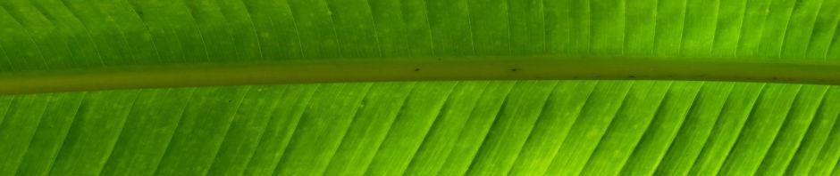 baum-der-reisenden-blatt-gruen-ravenala-madagascariensis