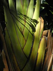 Baum der Reisenden Blatt gruen Ravenala madagascariensis 03