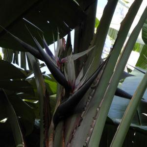 Baum der Reisenden Blatt gruen Ravenala madagascariensis 05