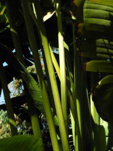 Baum der Reisenden Blatt gruen Ravenala madagascariensis 07