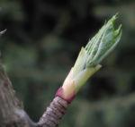 Baumaralie Blatt gruen Kalopanax pictus 05