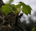 Baumaralie Blatt gruen Kalopanax pictus 07