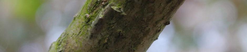 baumaralie-blatt-gruen-kalopanax-pictus