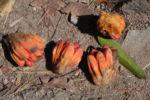 Beach Pandanus Blatt gruen Frucht orange Wurzel grau Pandanus pedunculatus 16