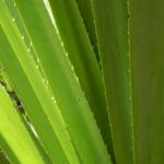 Beach Pandanus Blatt gruen Pandanus pedunculatus 18